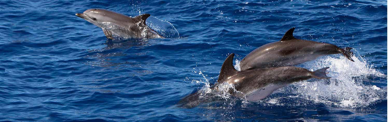 Delphine vor Graciosa